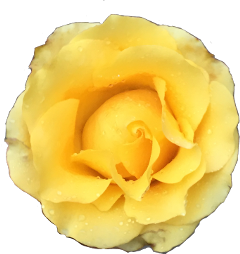 flowers fleurs rose yellow freetoedit