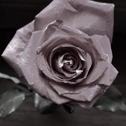 freetoedit rose flower remixit beautifulrose