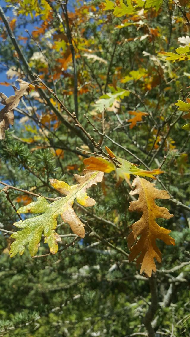 #freetoedit #photography  #mycam #leaf #autumn  #autumncolors  #picsart  @picsart   #nature