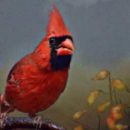 cardinals myedit snapshot cardinal red freetoedit