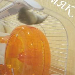 хомяк hamster