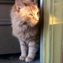 kitty cat catsofpicsart sunlight goldenhour freetoedit