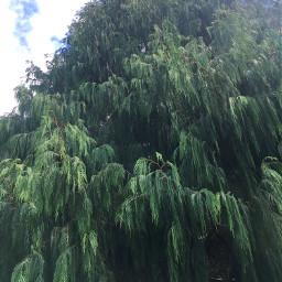 myphotography evergreentree christmasiscoming thankyou
