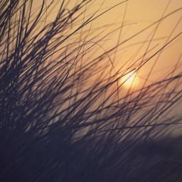 beachdunes grass goldenhour nature lowangleshot freetoedit