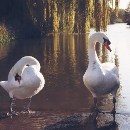 nature swans canalside outandabout freetoedit