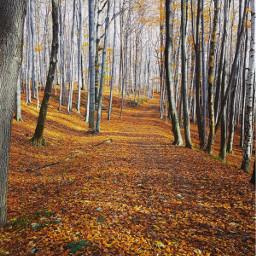 nature autumn woods trees autumnvibes freetoedit