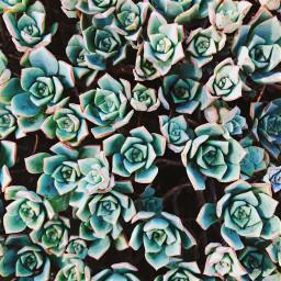 succulent plants green cactus nature freetoedit