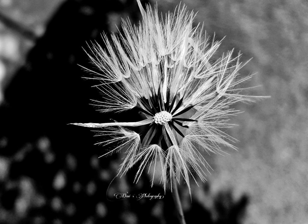 For some odd reason I love bnw  #ghostfollowers  #dontfollowme #dandelion #blackandwhite #photography #freetoedit #nature