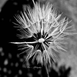 ghostfollowers dontfollowme dandelion blackandwhite photography freetoedit