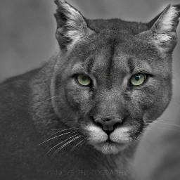 puma cougar lion feline e-go
