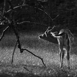 deer blackandwhite magicalmoments bokeh