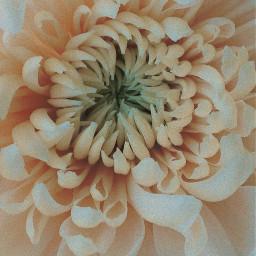 flower naturesbeauty seasonalflower chrysanthemum closeupflowerphotography freetoedit