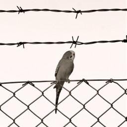 minimalplanet parakeet wirenetting barbedwire lovebird freetoedit