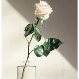 freetoedit white rose