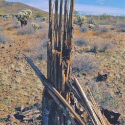 freetoedit dead cactus myphotography