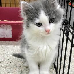 cutecat cutekitty kitten kitty cat pcwhite white