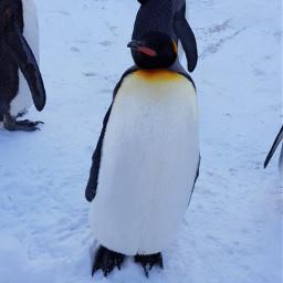 penguin freetoedit pcwhite white