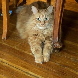 freetoedit kitty cat lookingatcamera pets