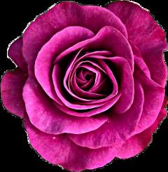 pink rose flower freetoedit
