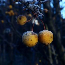 frosty apples tree closeup outandabout freetoedit