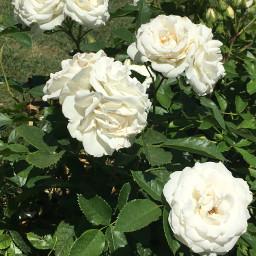 whiteflowers vote summervibes freetoedit pcwhite white