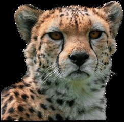 cheeta animal real wildanimals madewithpicsart freetoedit sccheetah cheetah