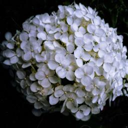 film2effect flower hydrangea white nature freetoedit