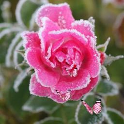 freetoedit pink_rose winter nature❤ image