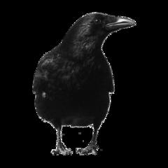 freetoedit raven blackbird kellydawn