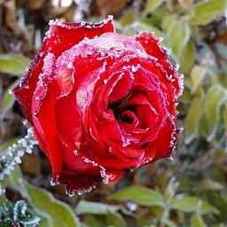 frost winter kalt blume rose