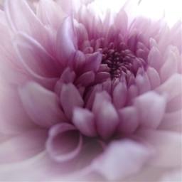 freetoedit flower crysanthemum pink photography
