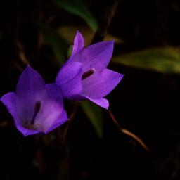 purple bluebell flower nature