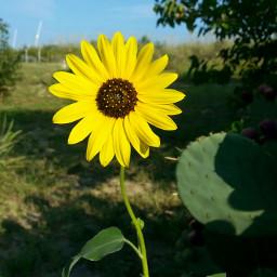 beachphotography sunflower myphotography hometown favoriteplace freetoedit