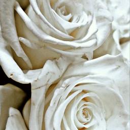 freetoedit rose pcwhite white