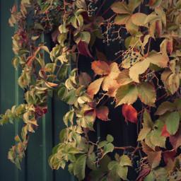metalfence climbingplant fallcolors wildberries warmcolors freetoedit
