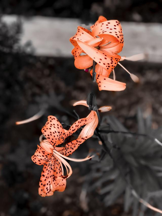 #freetoedit #iphonecamera #photobyme #flowerslovers