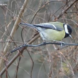 freetoedit followme titmouse birds birdsphotography