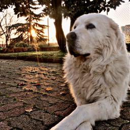 dog goodboy whiteshepherd animals sunset