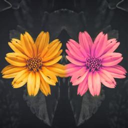 freetoedit flowers madewithpicsart picsarteffects remixit
