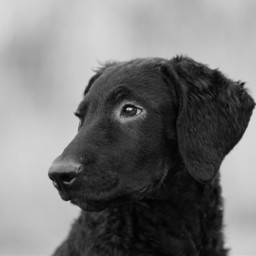 photography pets curlycoatedretriever