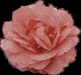 freetoedit flowers petals