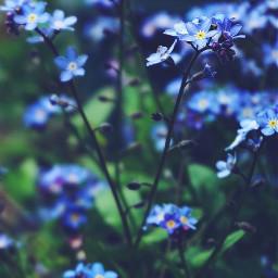 nature woods countryflowers blueandgreen simpleflowers freetoedit