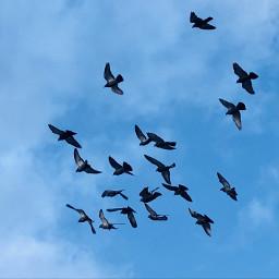 flockofbirds birdsinflight sky lookup freetoedit