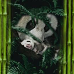 freetoedit panda deepforrest pandalove bamboo ircdeepinthewoods deepinthewoods