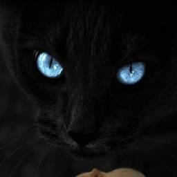 freetoedit catandmouse blackcat blueeyes