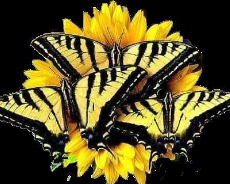 #butterfly# #freetoedit