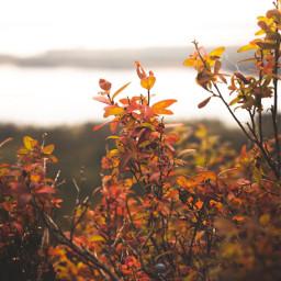 nature bushes shrubs wildberries bluredbackground freetoedit