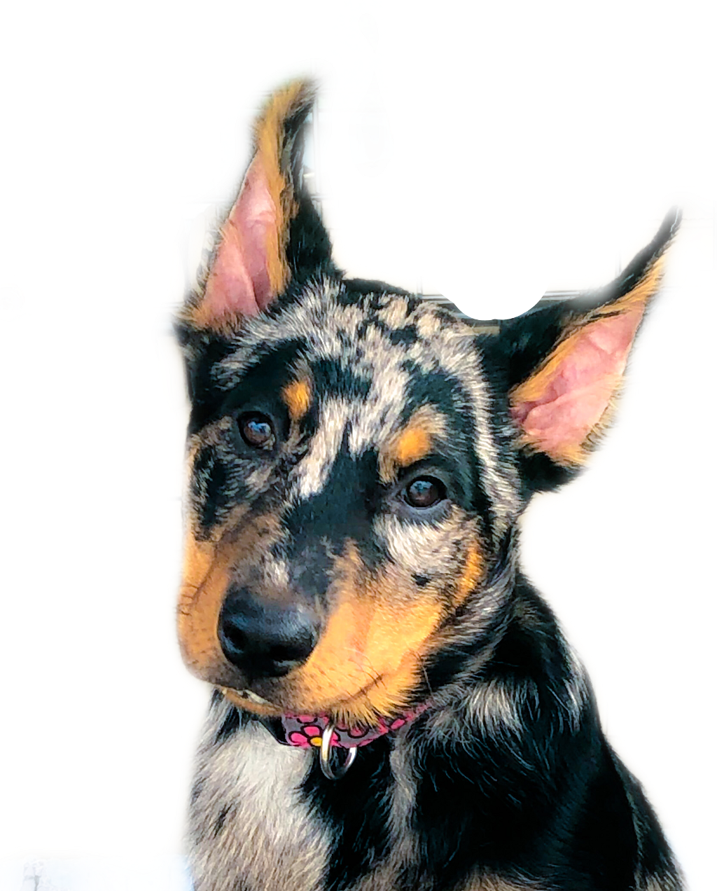 @Esmee du Chateau Rocher.  She is a 5 month old beauceron.   #puppy #freetoedit
