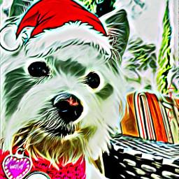 freetoedit princessdaisy malchi maltese chihuahua ecfestivepets festivepets