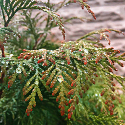 freetoedit dewdrops juniper myoriginalphoto